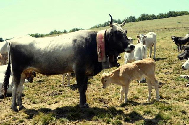 Podolica con vitello